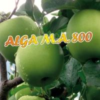 ALGA M. A. 800